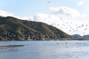 河内川が流れ込む神前湾で乱舞するカモメ(南伊勢町河内)