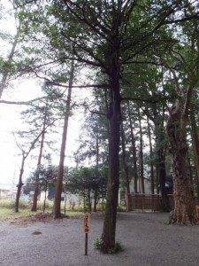 水屋の大榊(水屋神社)