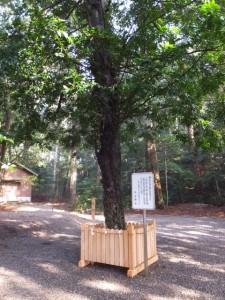 丹生神社の御神木、梛(なぎ)の木(多気町丹生)