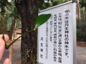 丹生神社の御神木の説明板と梛(なぎ)の葉(多気町丹生)