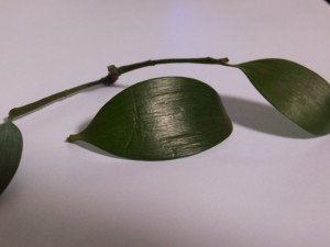 丹生神社(多気町丹生)の御神木、梛(なぎ)の落ち葉