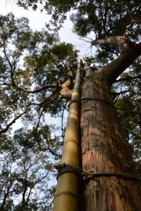 太くて真っ直ぐ天に伸びる竹(五ヶ所浅間山山頂)
