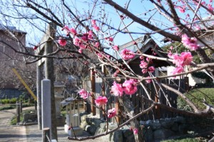 新開臥龍梅公園にある菅原神社咲き始めた梅の花(伊勢市御薗町新開)
