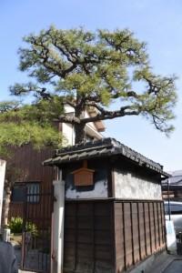 国指定特別史跡 本居宣長旧宅跡に残る松(松阪市)