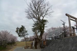 楠大明神と桜(宮川堤)