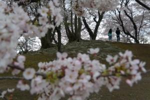 宮川堤の桜(駿河堤付近)