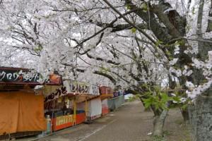 宮川堤の桜