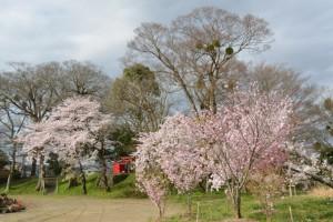 宮川堤の桜(松井孫右衛門人柱堤(浅間堤)付近)