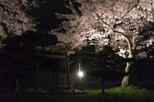 王中島公民館前の夜桜(伊勢市御薗町王中島)