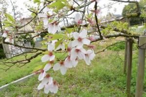 オヤネザクラ(旧豊宮崎文庫)