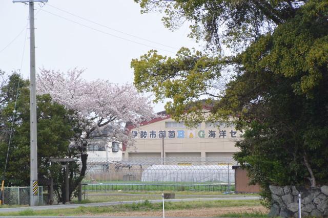 御薗神社(伊勢市御薗町王中島)の隣、大水神社の桜