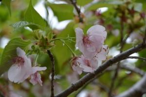 雄しべが花びら化した横輪桜(伊勢市横輪町)