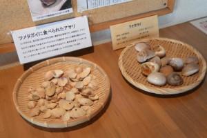 ツメタガイに被害を受けるアサリ(海の博物館)
