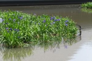 外宮 勾玉池の畔に建つ奉納舞台周辺に咲く菖蒲
