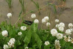 田んぼの畦に咲くシロツメクサの蜜を吸うアオスジアゲハ