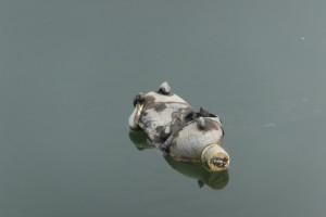 勢田川に浮かぶ貝付きのペットボトル