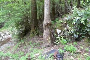 盗石の事実を物語る木の幹の傷(盗石防止ゲート付近)