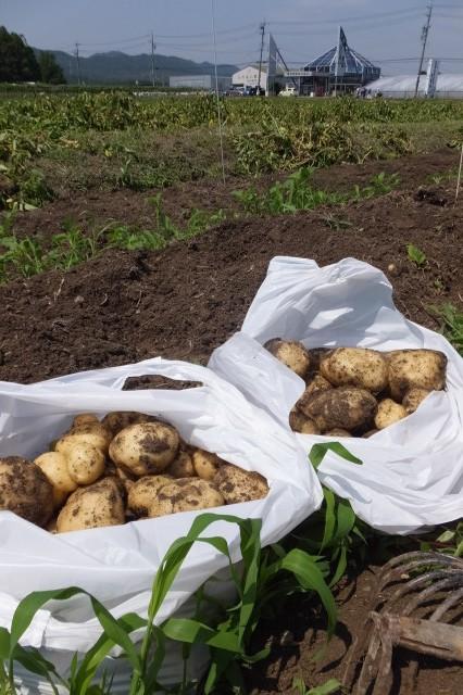 玉城ふれあい農園でのジャガイモ掘り