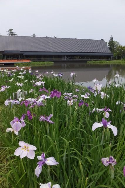 外宮 勾玉池の菖蒲園