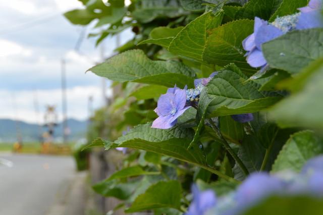 お伊勢さん125社まいりにて見かけた紫陽花