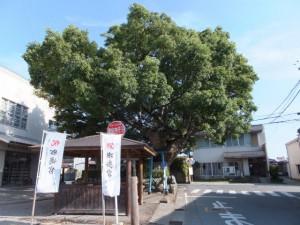 西コミュニティセンター前の大楠(2013年09年21日時点)