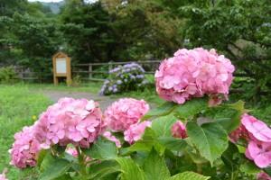 郷の恵・風輪の駐車場に咲く紫陽花(伊勢市横輪町)