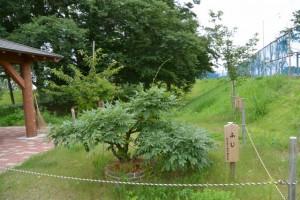 松井孫右衛門参道改良工事完成記念で植樹された ふじ と ぼたん桜