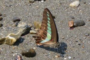 海辺で羽を休めるアオスジアゲハ(神前海岸)