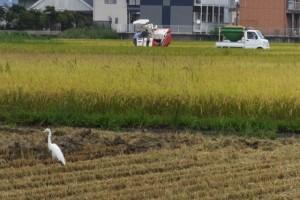 稲刈りの始まり(伊勢市)