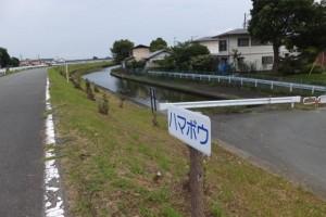 勢田川右岸のハマボウ(浜郷小学校記念公園)
