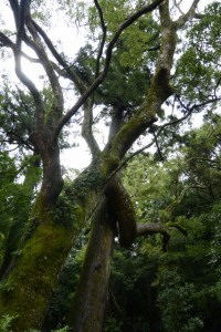 御正宮蕃塀付近で付かず離れずの木と木(外宮)