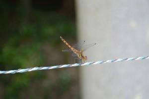 明神社の電気柵に止まるトンボ
