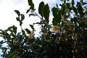 花を咲かせ、実を結ぶ茶の木(久具都比賣神社付近)