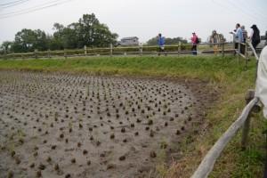 古代米(赤米・黒米)の栽培田