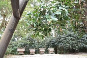 八尋殿の前に立つ梛(ナギ)の木と神麻続機殿神社末社八所(神麻続機殿神社)