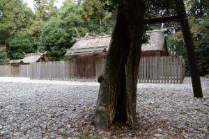 八尋殿の前に立つ梛(ナギ)の木(神麻続機殿神社)