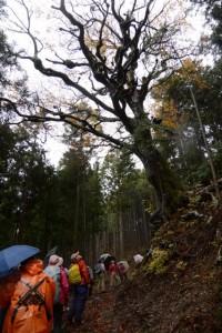 ブナの大木(和歌山街道)
