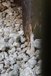 八尋殿の柱の根元に残されていた玉串(神服織機殿神社)