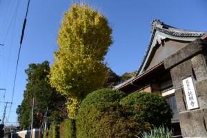 紅葉した龍照山 託明寺のイチョウと豊玉神社の社叢
