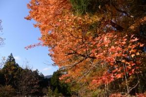 鮮やかな紅葉(度会郡大紀町三瀬川〜船木の途中)