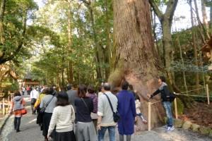 御稲御倉付近の巨木(内宮)