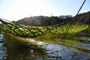 緑輝くアオサ養殖網(度会郡南伊勢町木谷)