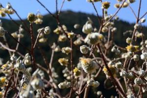 花が咲き始めたミツマタ(南中村あすなろ公園)