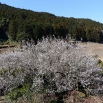 私を誘った梅の花(南中村あすなろ公園)
