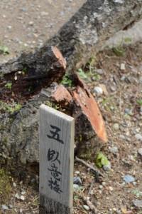 「五臥竜梅」の札(新開臥竜梅公園)
