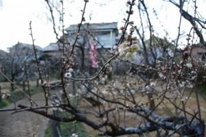 梅の花が咲き始めた新開臥竜梅公園