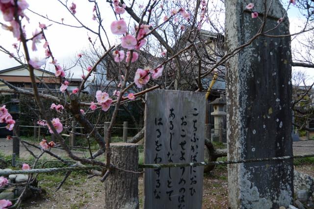 今年最後に花を散らす梅の木(臥竜梅公園)