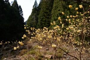 ミツマタの森(亀山市安坂山町)