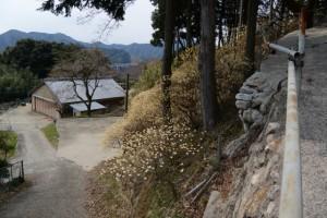 坂本生活改善センター裏手のミツマタ(亀山市安坂山町)
