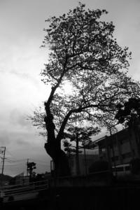 伊勢市立四郷小学校に咲くの桜